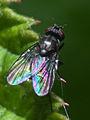 2010-06-19-Diptera en Bastavales.jpg