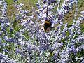 20110702Hummeln Gartenschaupark Hockenheim2.jpg