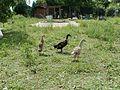 20110702Kleintierzuechter Hockenheim3.jpg
