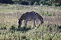 2012-02-Cayo Saetia Zebras 01 anagoria.JPG