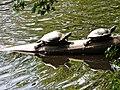 20120703 Schildpadden1 bij het Zwanemeer.jpg