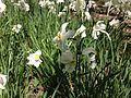 2013-05-05 13 57 27 Closeup of unknown species of escaped Narcissus along the Long Path in Palisades Interstate Park.jpg
