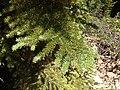 2013-06-28 12 18 29 Closeup of Subalpine fir foliage along Elko County Route 748 (Charleston-Jarbidge Road) southwest of Jarbidge, Nevada.jpg