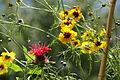 2013.07.07.123618 Coreopsis tinctoria Heidelberg Germany.jpg