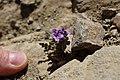 2014, Phacelia crenulata, Cleftleaf Wildheliotrope, the last plant in the trail - panoramio.jpg