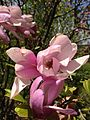 2014-05-11 11 56 22 Magnolia at a nursery along Davis Station Road, Upper Freehold Township, New Jersey.JPG