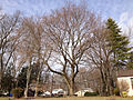 2014-12-30 11 53 08 Norway Maple along Lower Ferry Road (Mercer County Route 643) in Ewing, New Jersey.JPG