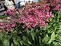 2015-05-20 16 53 06 'Rosebud' Azalea blooming along Terrace Boulevard in Ewing, New Jersey.jpg