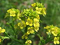 20150423Barbarea vulgaris4.jpg