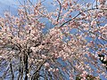 2017-04-05 13 33 09 Weeping Higan Cherry flowers along Folkstone Drive at Rock Manor Court in Oak Hill, Fairfax County, Virginia.jpg