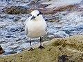2017-08-07 Thalasseus sandvicensis, St Marys Island, Northumberland 01.jpg