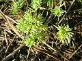 20171014Scleranthus annuus06.jpg