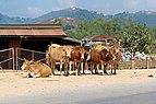 20171116 Cows, local road near Phonsavan, Laos 2938 DxO.jpg