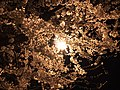 2020-03-25 01 34 36 A White Flowering Cherry tree at night with blossoms illuminated by a sodium-vapor street light along Ladybank Lane in the Chantilly Highlands section of Oak Hill, Fairfax County, Virginia.jpg