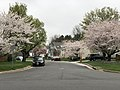 2020-03-28 18 20 55 Cherry trees blooming along Huntsfield Court in the Franklin Farm section of Oak Hill, Fairfax County, Virginia.jpg