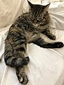 2020-04-27 11 26 19 A tabby cat sitting on a couch in the Franklin Farm section of Oak Hill, Fairfax County, Virginia.jpg
