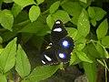 318.1琉球紫蛺蝶2(葉錫根攝) (12944525295).jpg