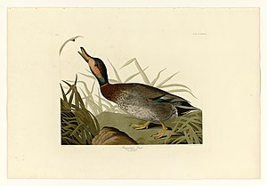 Brewer's duck - Image: 338 Bemaculated Duck