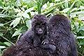 33 gorilla.jpg