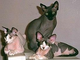 сфинкс кошка картинки