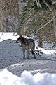 4-10-112-wolf-2 (7070915839).jpg