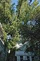 51-101-5015, тополя на Торговій.jpg