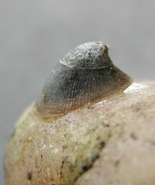 A live individual of Ancylus fluviatilis, anterior end towards the left