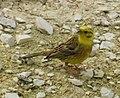 AIMG 4736 Reußenstein gelber Vogel.jpg