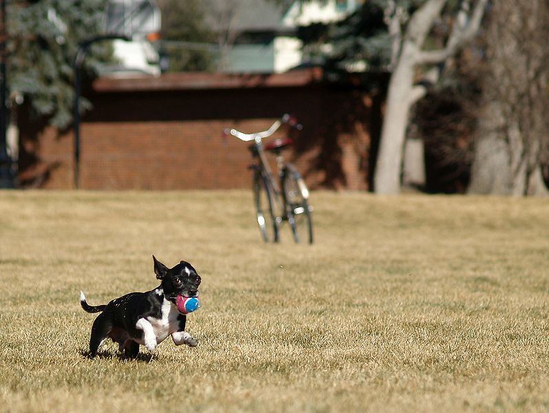 File:A Chihuahua fetching a ball.JPG