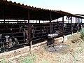 A Cowshed in Kfar Yehoshua, Israel.jpg
