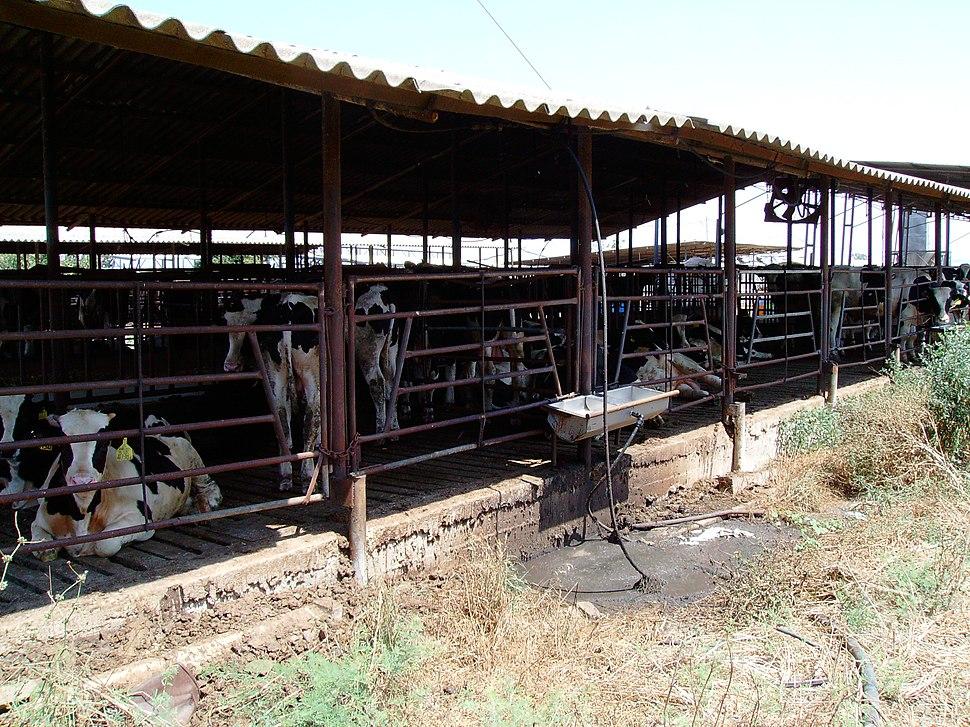 A Cowshed in Kfar Yehoshua, Israel