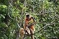 A Pregnant Capped Langur - Flickr - Dr. Santulan Mahanta (7).jpg