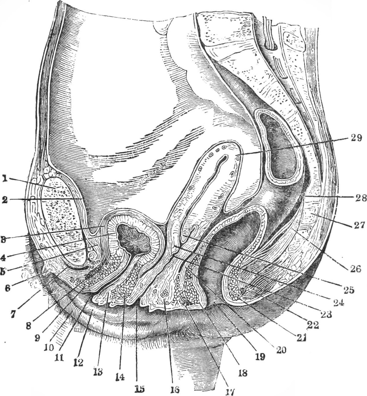 Urethral sponge - Wikipedia