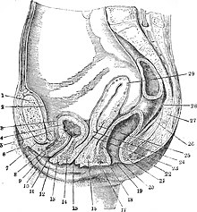 Position of female urethra vs vagina