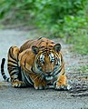 A beautiful female Tigress.jpg
