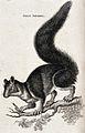 A great squirrel. Etching by Heath. Wellcome V0021241.jpg