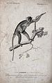 A guenon (cercopithecus) climbing a tree holding its young c Wellcome V0021282.jpg