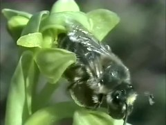 File:A male of the solitary bee Colletes cunicularius pseudocopulating on the flower labellum of the orchid Ophrys lupercalis - 1471-2148-10-103-S1.ogv