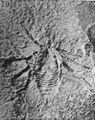 A monograph of the terrestrial Palaeozoic Arachnida of North America photos 76-82 79.png