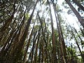A stand of eucalyptus tree.jpg