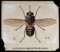 A tsetse fly (Glossina morbitans). Coloured drawing by A.J.E Wellcome V0022550.jpg
