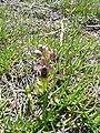 Abellera vermella al prat d'orquídies de la maresma de les Filipines P1100472.jpg