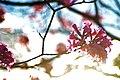 Aberta a temporada de ipês roxos em Brasília (41030202890).jpg