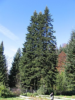 Abies alba from Goc mountain.jpg