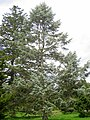 Abies concolor 'Violacea', Arnold Arboretum - IMG 6133.JPG