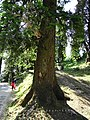 Abies pindrow India31.jpg