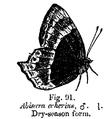 Abisara echerius ctb.png
