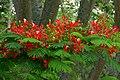 Acacia roja (Delonix regia) (14555566147).jpg