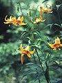 Acadia National Park, Canada lily (Lilium canadense).jpg
