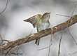 Acadian Flycatcher at Belleplain State Forest in New Jersey, during spring migration 2008.